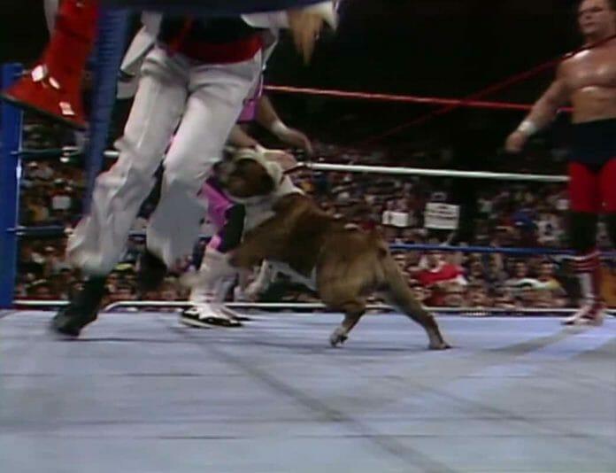 British Bulldogs mascot, Matilda, attacking Jimmy Hart and his Megaphone! Saturday Night's Main Event, May 2nd, 1987.