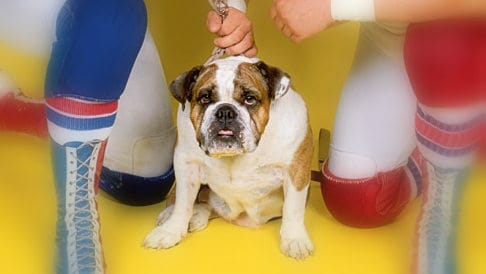 The British Bulldogs mascot, Matilda the bulldog.
