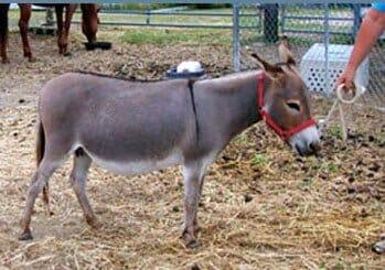 Dusty Rhodes' Donkey Zeb